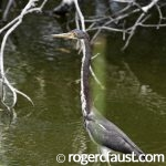 Heron in Pond