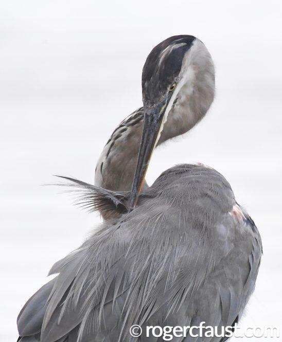 Great Heron Preening