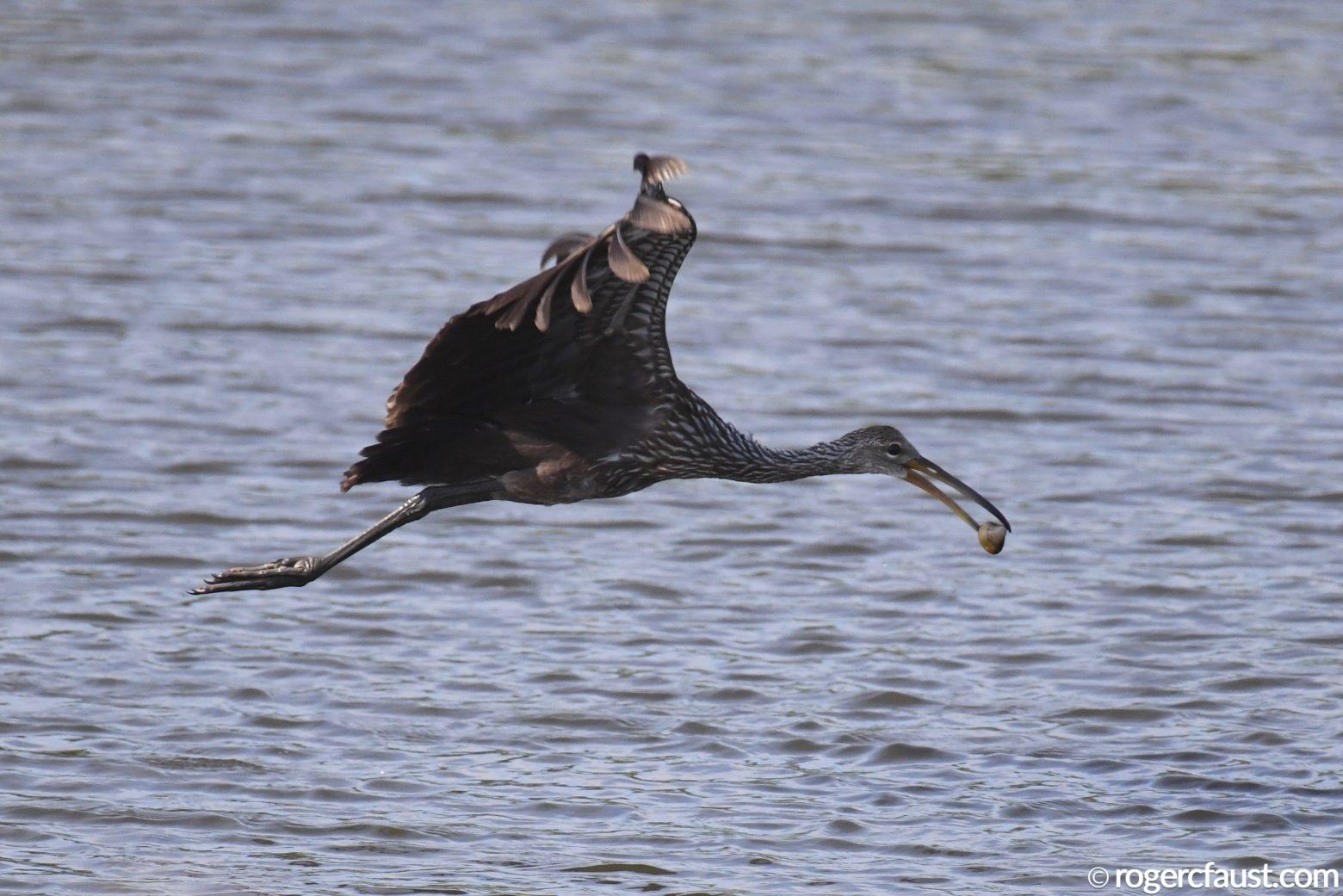 Limpkin Flying
