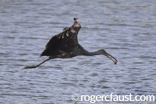 Limpkin Flying